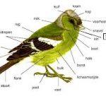 Vogels (Aves)