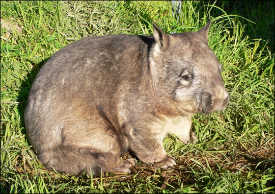 Noordelijke breedneuswombat