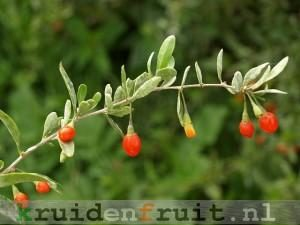 lycium_barbarum_duke_of_argylls_teaplant_berries_18-09-10_1-300x225