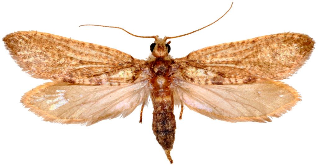 Agathiphaga vitiensis