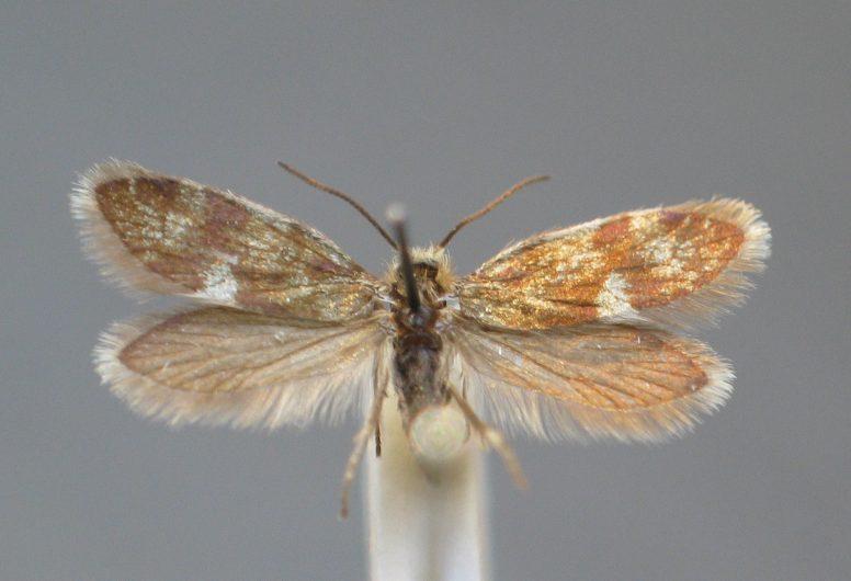 Eriocrania alpinella