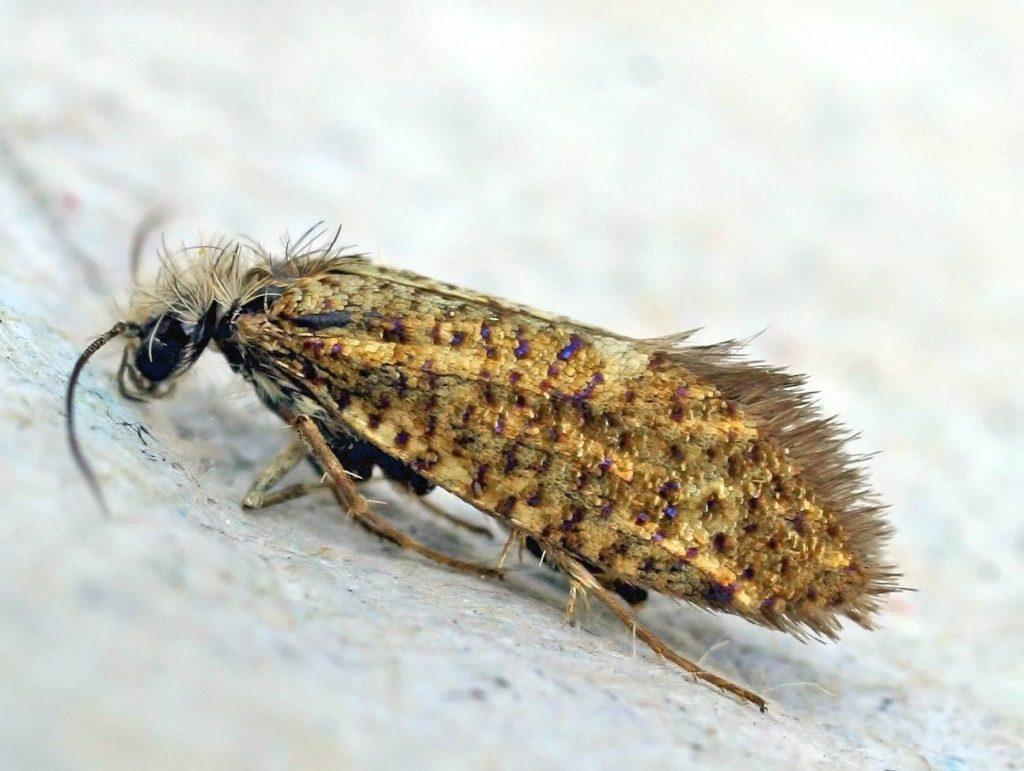 Eriocrania semipurpurella