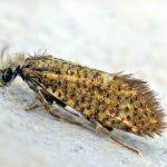 Variabele Purpermot (Eriocrania semipurpurella)