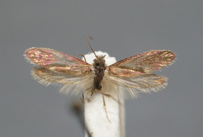 Eriocrania chrysolepidella