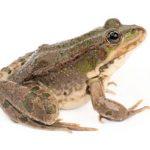 Amfibieën (Amphibia)