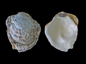 gewone oester