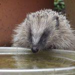 Water voor egeltjes